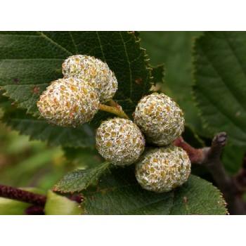 Arany - rügyek kivonat (vad gyűjtemény) 20 ml-től