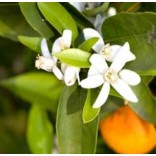 Narancsvirág víz bio - 100ml